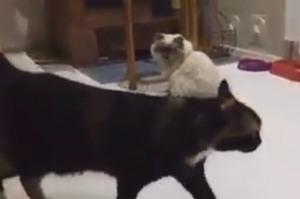 暹羅貓不爽弟弟衝上前找牠打架,結果弟弟躲開攻擊後輕輕碰了牠一下...網友看了全笑炸(影片)