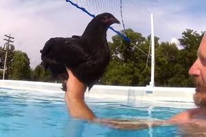 主人一直好奇「雞會不會游泳」?於是拿寵物雞來測試,結果竟然...完全讓人想不到!!!(附影片)