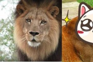 如果把公獅子像貓咪一樣給「結紮」會變怎樣?看牠表情有股蛋蛋的哀傷XD