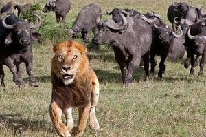 「X的牠們人太多了!」被追的水牛居然烙來一堆同伴,獅子一臉驚恐落荒而逃!