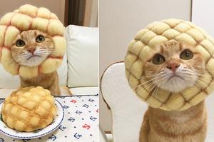 貓咪秒變「菠蘿麵包」超吸睛!居然還有「紅豆麵包」!網友看了紛紛噴笑:肚子都餓啦!