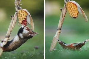 鼠界二哈?這12張野生倉鼠的照片,真的是又可愛又白痴啊!