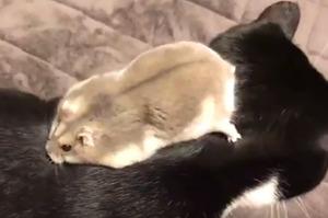 鼠寶爬到黑貓身上尋寶,走著走著、找著找著....下一秒超爆笑的發展,真的讓人笑到融化!(圖+影片)