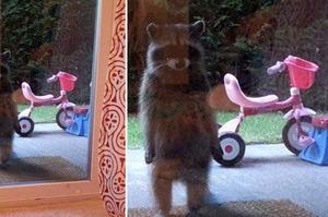 「敲門的浣熊一臉陰沉,往右一看我就笑死啦!」這幾隻超可愛的爆笑浣熊,每隻都讓人笑噴!(圖+影片)
