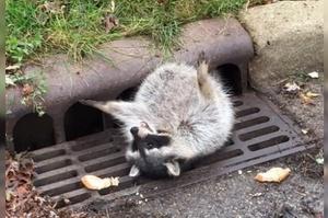 浣熊平常吃太胖沒在care,結果爬下水道時被肥肉卡住,學到教訓整個生無可戀了~
