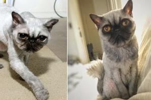 被拯救流浪貓因病而剃光光,沒想到因此看起來像是一隻「臭臉巴哥」...主:「我發誓牠真的是波斯貓」
