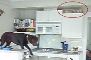 主人忘記餵狗,監視器拍到超餓狗狗在家的反應,網友看完:「果然生命自己會找出路啊!」XD