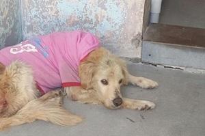 痛心!美國全版廣告上刊登這隻「為愛被犧牲」的狗狗的故事,結局讓人淚崩!
