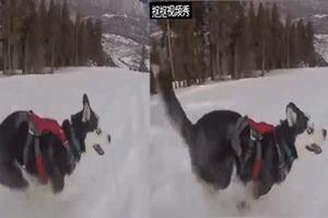人家今天不搞笑惹,哈士奇在雪地奔跑的樣子超級帥...網友:「這才是我心中帥氣的哈士奇呀」
