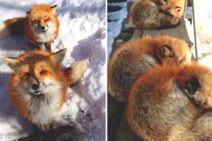 世界上最毛茸茸的村莊!?日本「狐狸村」讓你與狐狸近距離接觸!