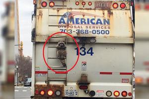 「呦呼~~~有人在嗎」小浣熊為了找食物爬上垃圾車...才爬到一半就被卡住的模樣真的超級冏XD