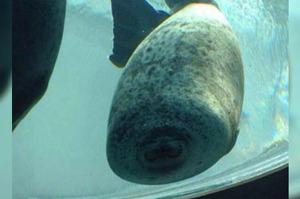 這隻海豹游的太開心沒注意前方玻璃,來不及煞車竟然...網友:「變成銀絲捲惹XD」