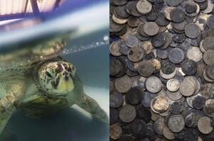 「丟錢幣許願惹的禍!!」醫生從綠蠵龜的胃裡取出915個錢幣....真的讓人很憤怒!(影片)