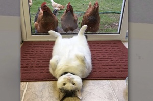 「老闆,貓肉一斤多少?」自從家裡養了雞,家裡喵皇就好像壞掉了....真的讓人笑到噴淚!