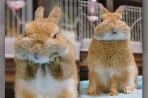「這樣有喬正惹嗎」一覺醒來發現睡到落枕,小兔兔只好自己用力「喬」回來...模樣真的太可愛惹!