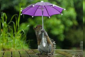「下雨了!我要趕快去接兒子回家!」攝影師準備可愛的道具給小松鼠...拍出來的照片讓網友都完全融化啦!