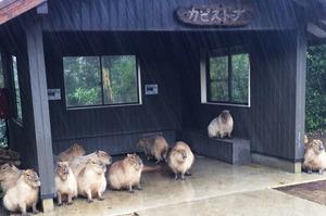 「啊!下雨了…看來今天只能發呆了啊!」日本超人氣水豚君呆萌躲雨照,讓看的人眼睛狂噴愛心!