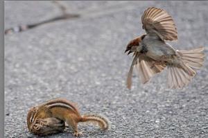 看見為了爭地盤大打出手的「奇奇蒂蒂」,這隻麻雀趕緊飛來勸架...這根本就是迪士尼的故事呀!!