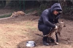 看見飼育員只跟愛撒嬌美洲豹玩,被晾在一旁吃醋的小老虎竟然...真的是太可愛了!!(影片)