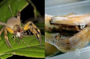 買香蕉送「世界最毒蜘蛛」:女子抱七月大baby奪門而出躲三晚避難險喪命