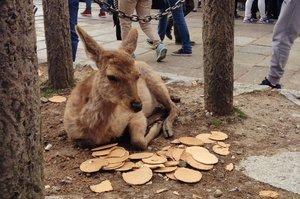 「本鹿已經飽到快吐了!!!!!」黃金週遊客多到爆炸,超貪吃奈良鹿竟然被餵到對眼前仙貝視而不見!