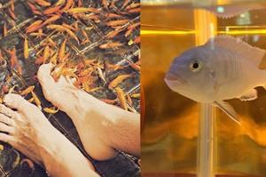 這隻魚池裡的溫泉魚,因為不斷啃食大家的腳皮,最後竟然變成...這大小誰還敢把腳放下去呀!!!