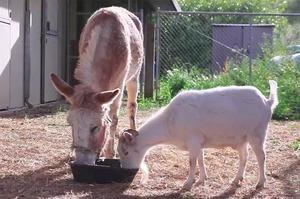 山羊絕食6天終於見到知心驢好友,興奮地奔跑前去迎接、磨鐵網後開心地一起吃飯、敘舊(影片)