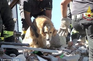 上百人罹難的大地震,黃金獵犬被埋在廢墟裡「9天」,主人一度放棄、再次回來找愛犬時竟然看到奇蹟發生!