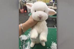 跟美容師說剪個可愛又清爽的造型...然後我家兔兔就變成一隻羊咩咩了!!