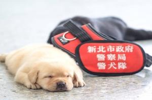 新北市警犬隊「滿月小犬」萌翻上千網友!睡眼迷濛的樣子讓網友驚呼太可愛希望「不要長大」