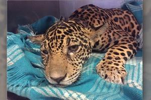 美洲豹癱倒在地上無法行走,醫生在牠體內意外發現18顆子彈...牠淚眼汪汪發出求救的樣子讓人超心疼!!(影片)