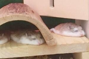 「哈姆太郎集體融化!!!!!」這些融化成「鼠餅」的哈姆太郎讓人萌炸!