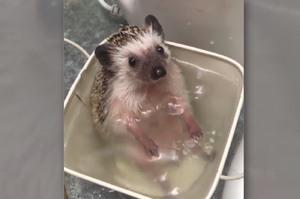 把小刺蝟放到水裡洗澡時以為牠會瘋狂掙扎...沒想到牠的反應讓網友全融化!!!(影片)
